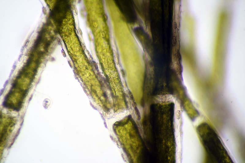 Cocconeis cells on cladophora