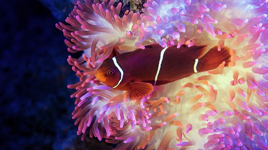 Sea Anemones Change Venom Recipe | Science | News