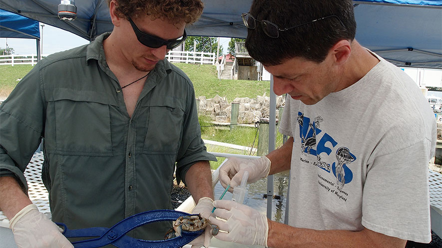 Researcher Finds a Way to Protect Peeler Crabs from a Killer Virus
