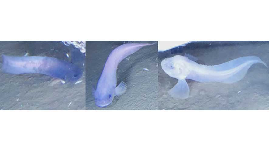 Snailfish: How We Found A New Species in One of the Ocean's Deepest Places