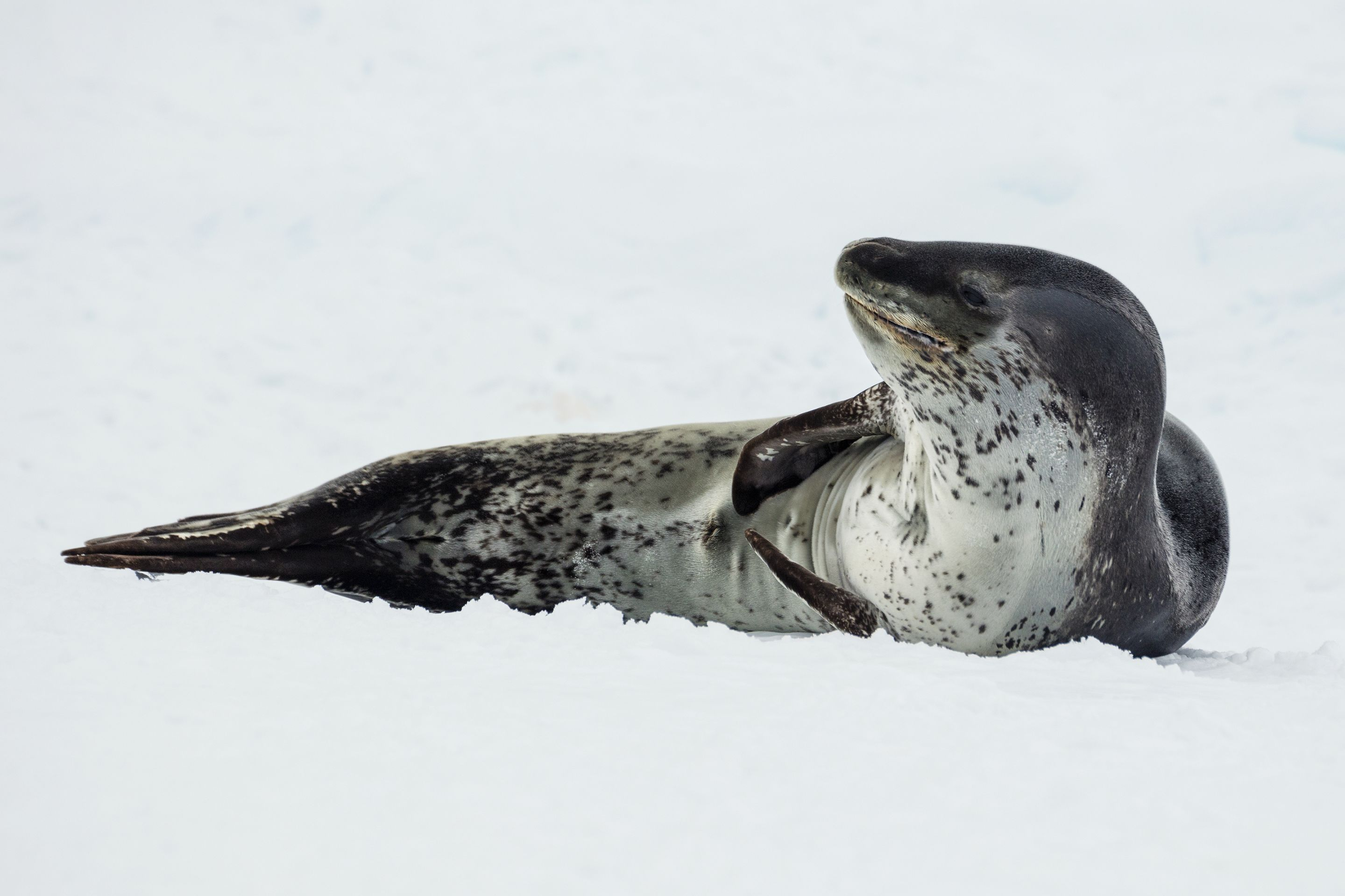 EMBED 2 Antarctic Sound 2016 Brown BluffLeopard seal Hydrurga leptonyx 04