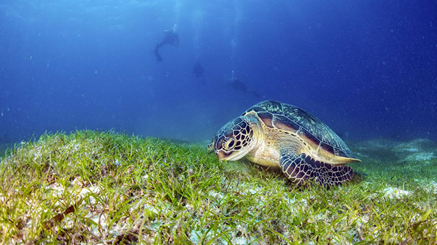 discovery of deep water seagrass in pristine indian ocean science