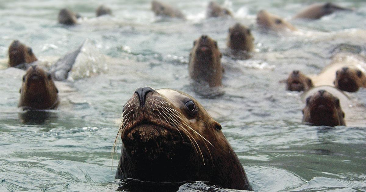 Citizen Science and Stellar Sea Lions
