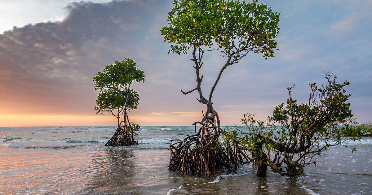 Healthy Mangroves Help Coral Reef Fisheries Under Climate Stress