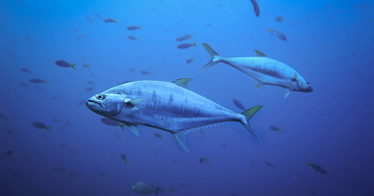 Tuna Carbon Ratios Reveal Shift in Food Web
