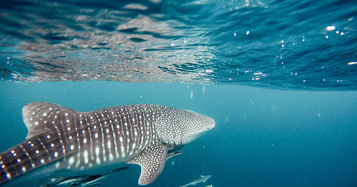 Whale Shark Hot Spot Offers New Conservation Insights