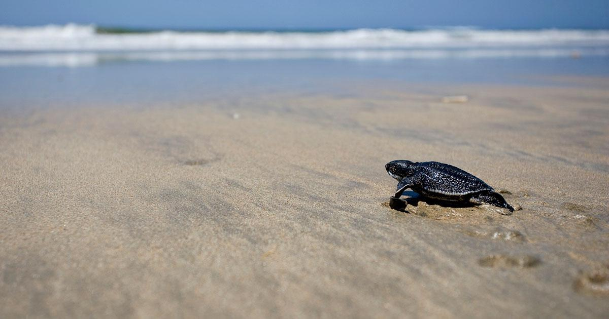 Tracking Critically Endangered Turtles with Telemetry
