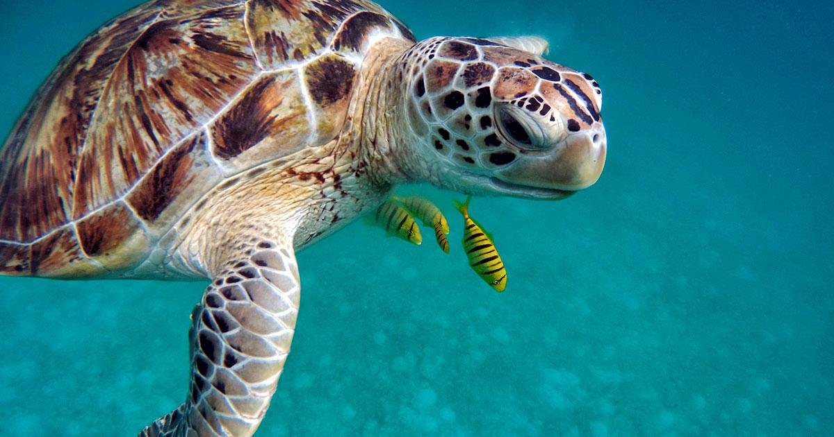 Immense Pacific Coral Reef Survey Shows Green Sea Turtle Populations Increasing