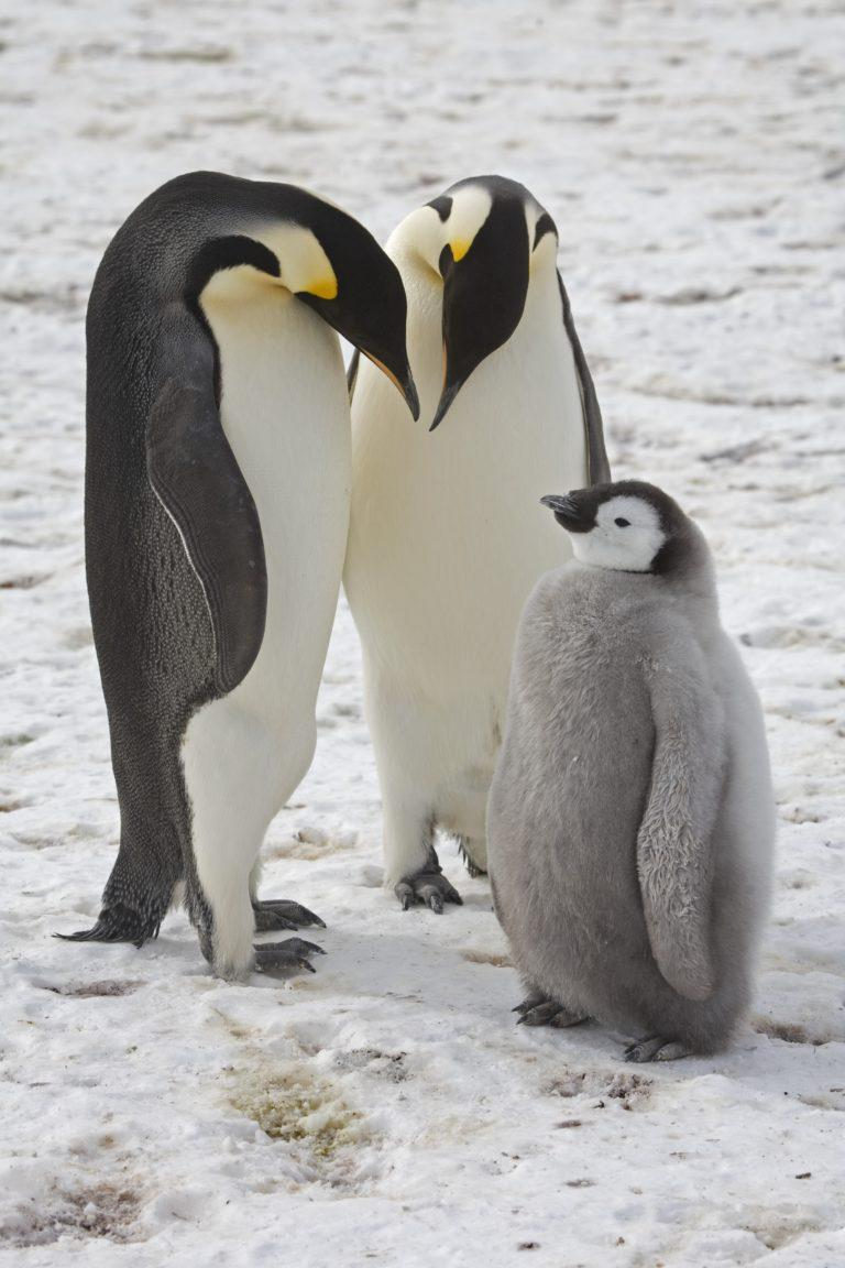 EM1 10009802 Adult emperor penguins with chick near Halley Research Station 768x1152