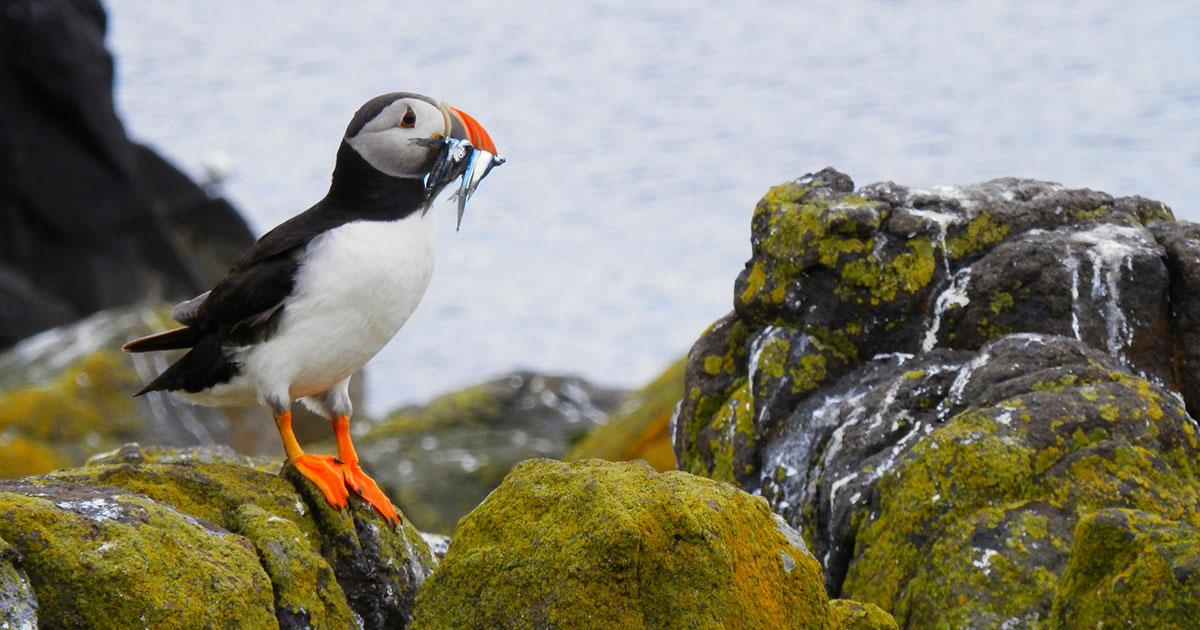 How Puffins Catch Food Outside the Breeding Season