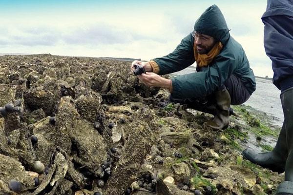 Oysters growing on an artificial oyster shell reef in the Netherlands 1
